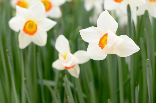 Shy Daffodils